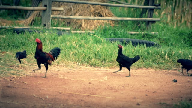 chickens running across grass.