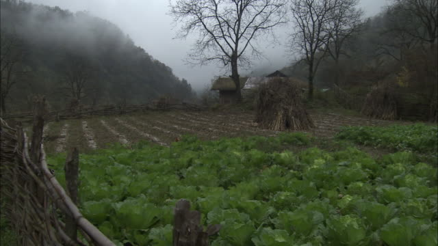 Chickens scratch amongst cabbages in field, Qinling, China.