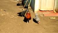 MS chickens walking on farm, KwaZulu Natal, South Africa
