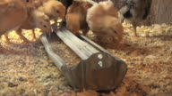 WS  Chicks eating starter ration for egg lying chickens in small family farm / Chelsea, Michigan, United States