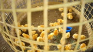 Chicks in a cage.