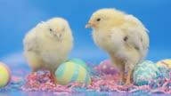 Chicks on Easter