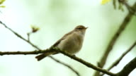 Chiffchaff Singing in a Tree