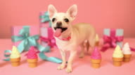 Chihuahua and birthday gifts