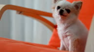 Chihuahua dog cute pets
