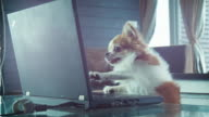 Chihuahua Dog playing laptop