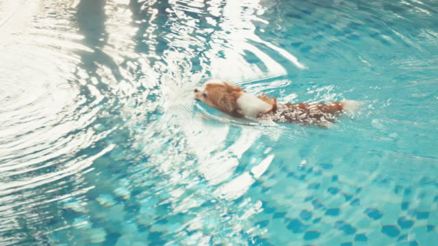 Chihuahua dog swimming in pool