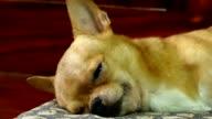 Chihuahua hund