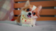 Chihuahua Dog With His snack
