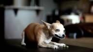 Chihuahua Eating Treat