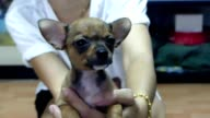 Chihuahua valp