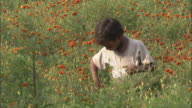 A child in a field collects marigold heads in the hem of his shirt near field workers in India.