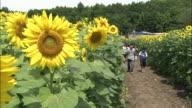 Children explore a field of sunflowers.