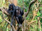 WA chimp climbs tree, turns around to reveal 6 week old baby, zoom in for CU of mother relaxing with baby