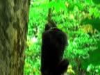 MS, TD, Chimp (Pan troglodytes) descending from tree vine, Gombe Stream National Park, Tanzania