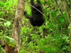 WS, Chimp (Pan troglodytes) hanging on tree in forest, Gombe Stream National Park, Tanzania