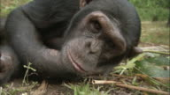 CU Chimp lying on side and looking at camera, Ngamba Island Chimpanzee Sanctuary, Ngamba Island, Uganda