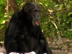 MS, Chimp (Pan troglodytes) sitting in forest, Gombe Stream National Park, Tanzania