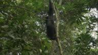 MS LA Chimp swinging on tree and hitting camera, Ngamba Island Chimpanzee Sanctuary, Ngamba Island, Uganda