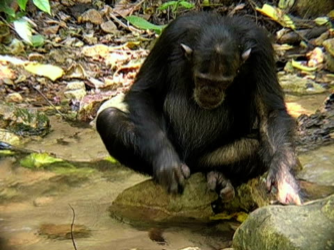 MS, Chimp (Pan troglodytes) using leaf to drink from stream in forest, Gombe Stream National Park, Tanzania