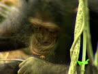 CU, Chimp (Pan troglodytes) using stick to get termites, Gombe Stream National Park, Tanzania