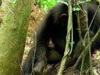 MS, Chimp (Pan troglodytes) using stick to get termites, Gombe Stream National Park, Tanzania