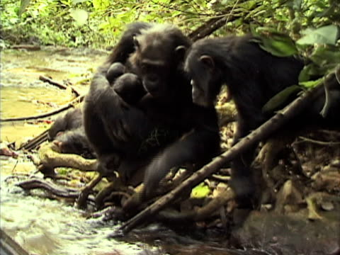 MS, Chimp (Pan troglodytes) with babies using leaf to drink from stream in forest, Gombe Stream National Park, Tanzania