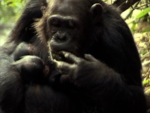 CU, Chimp (Pan troglodytes) with two babies using leaf to drink from stream in forest, Gombe Stream National Park, Tanzania