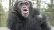 Chimpanzee at Chimp Haven refuge eats apple vocalizes while sitting on wooden post