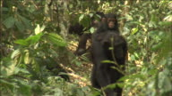 Chimpanzee carries infant on back in forest, Kibale, Uganda