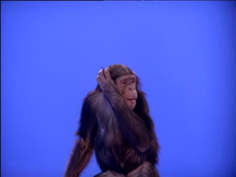 Chimpanzee eating, scratching then reaching upwards
