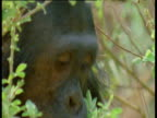 Chimpanzee eats leaves, Gombe National Park, Tanzania