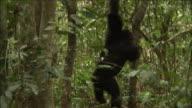 Chimpanzee in forest, Kibale, Uganda
