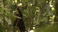 Chimpanzee infant clambers in forest, Kibale, Uganda