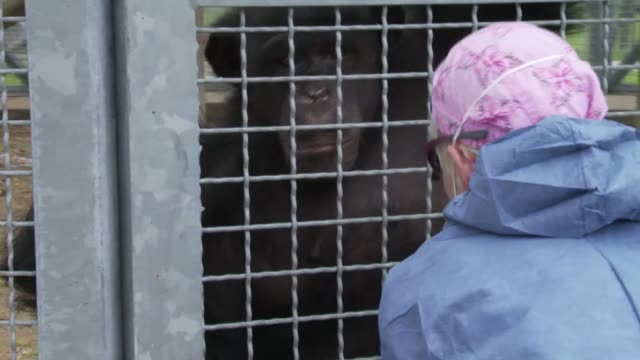 / Chimpanzee interacts with caregiver at Texas Biomedical Research Institute