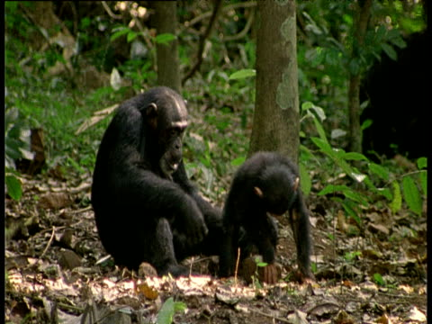 Chimpanzee mother watches as her baby plays with a large stone. Baby tries to stand on stone but can't keep his balance