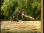 Chimpanzee, Pan troglodyte, young baby walking across log, pulls cute faces, MS, Israel