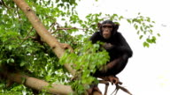 Chimpanzee resting on the tree.