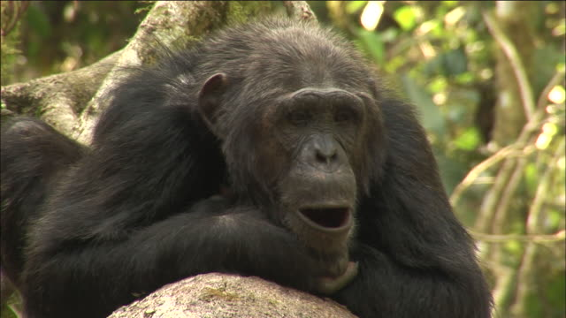 Chimpanzee rests and yawns in forest, Kibale, Uganda