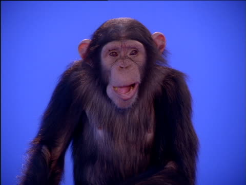 Chimpanzee slowly chewing its food then covering its mouth