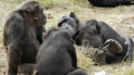 MS Chimpanzees chilling and interacting with each other on ground / Chingola, Copperbelt, Zambia