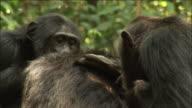 Chimpanzees groom in forest, Kibale, Uganda