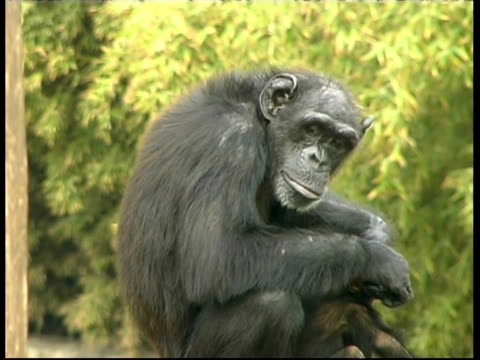 Chimpanzees, Pan troglodyte, female walks away from mature mother holding baby, mother grooming baby, CU, Israel