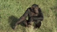 MS Chimps copulating, Ngamba Island Chimpanzee Sanctuary, Ngamba Island, Uganda