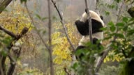 China on January 11 2012 released six young captive pandas into semiwild enclosures as part of a project aimed at helping the endangered bears adapt...