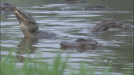 Chinese alligators calling in lake, Xuancheng