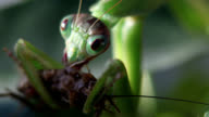 Chinese mantis eating cricket