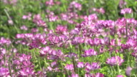 Chinese milk vetch (Astragalus sinicus) sway in breeze, Chuo, Yamanashi