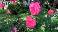 Chinese rose blossoming and blowed in wind,real time.