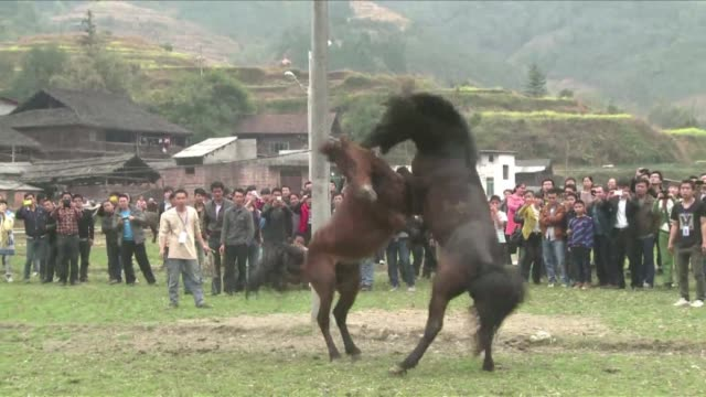 Chinese villagers enjoy a traditional horse fight to bring in the Lunar New Year in spite of condemnation from animal rights groups CLEAN China...